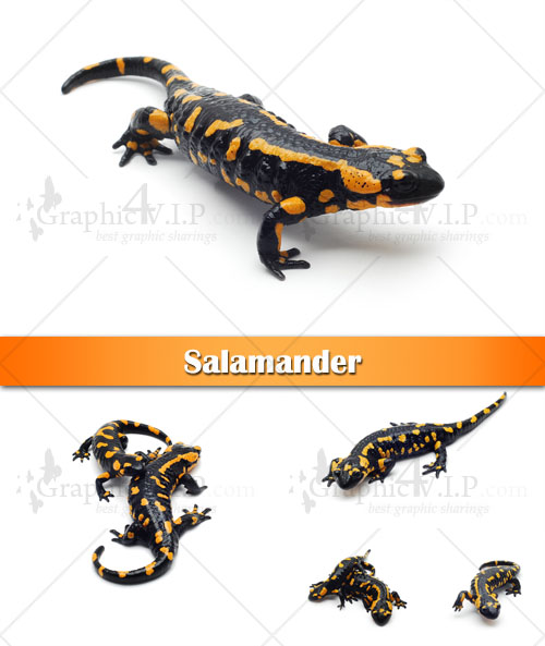 Salamander - Stock Photos