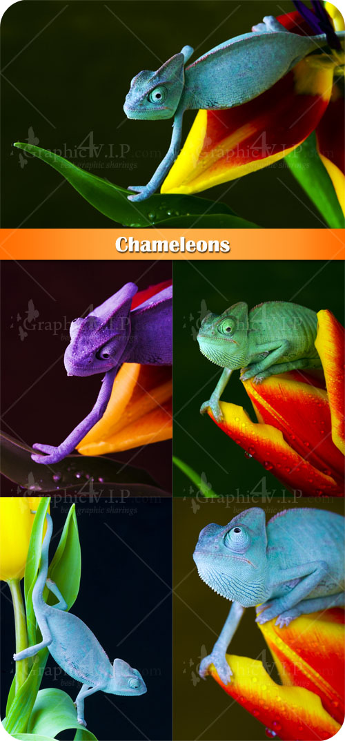 Chameleons - Stock Photos