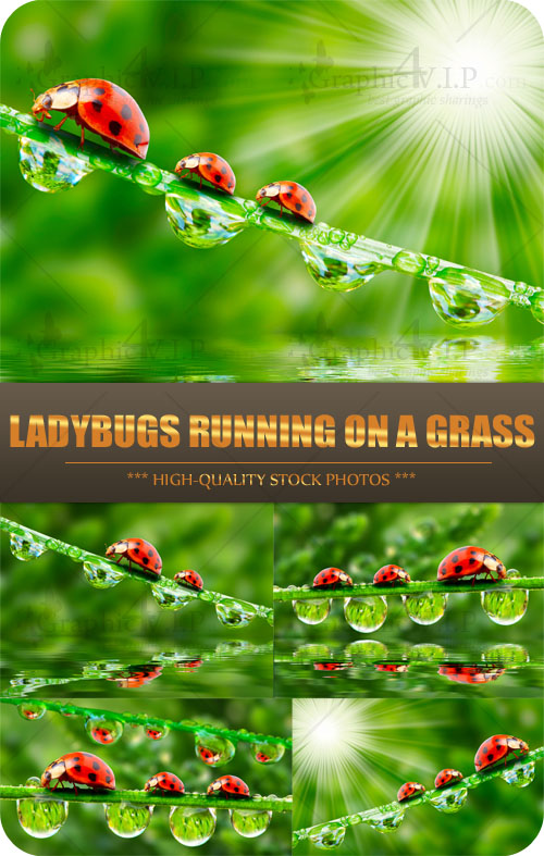 Ladybugs Running on a Grass - Stock Photos